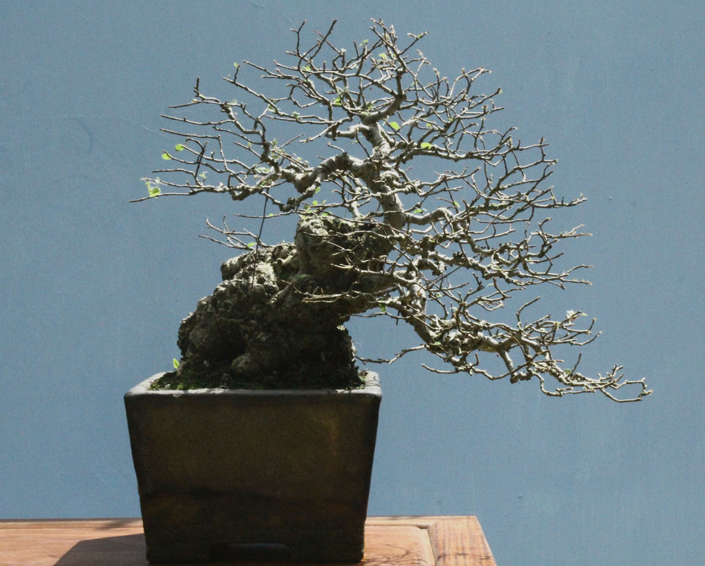 Wildwoodbonsai Semi Cascade Elm