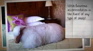 Hotel sheep