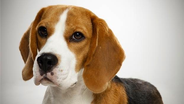 Razas de perros pequeños de pelo corto Mundo de perros - Perros Razas Pequeñas Pelo Corto