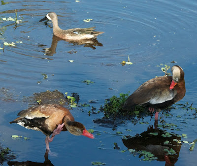 Black-bellied Whistling-Duck and Blue-winged Teal