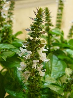 Bunga Rosemary, Kegunaan Bunga Rose marry, Khasiat Rosemary, Manfaat Tanaman Rosemary,
