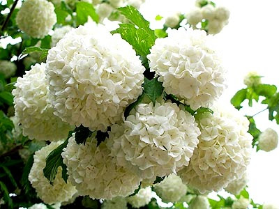 White Snowball Flower