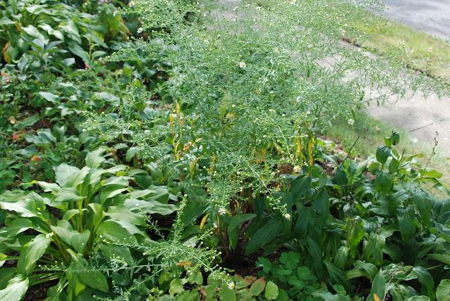 native flat-topped aster (Doellingeria umbellata)