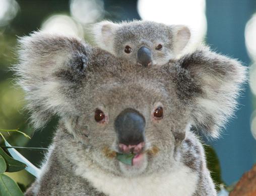Imágenes del mundo animal: Koala