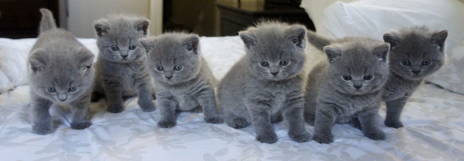 British shorthair cat edmonton