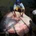 Ikan Pari 'Raksasa' Berhasil Ditangkap Nelayan Malaysia