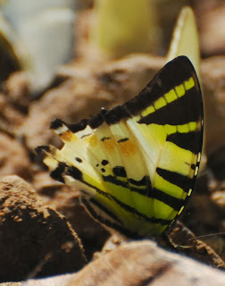 Fivebar Swordtail (Pathysa antiphates itamputi)