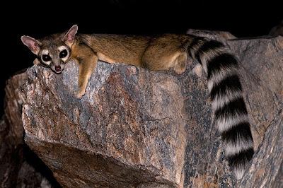 Ringtail Cat Ubuntu 13.04