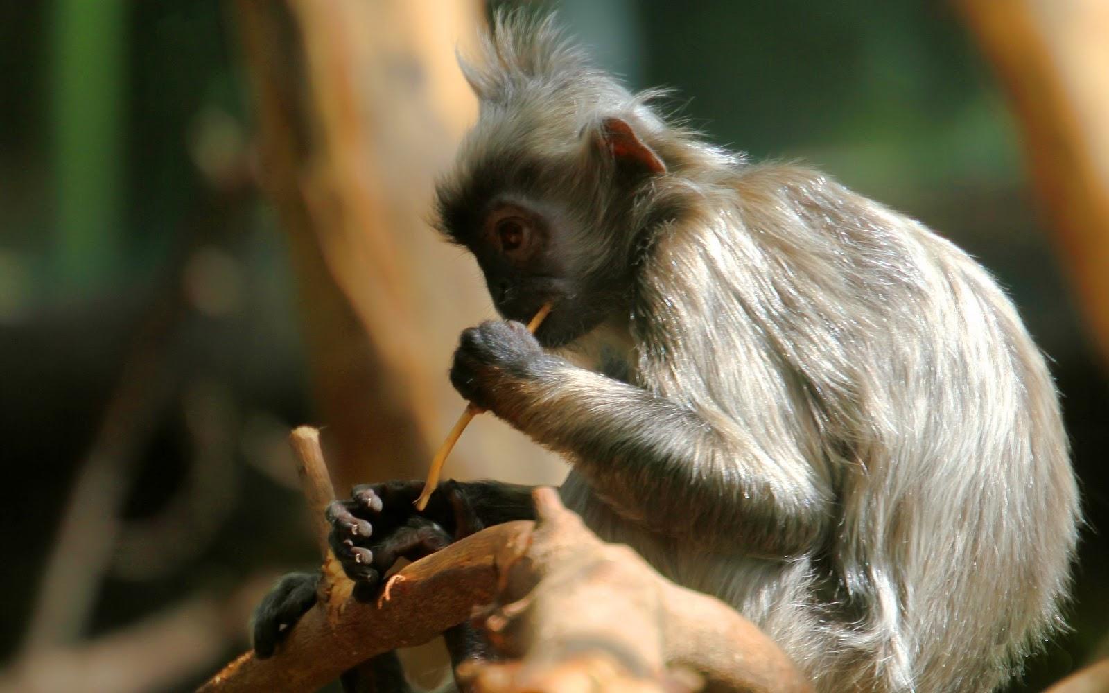 monkey indian monkey funny spiderman monkey hd images