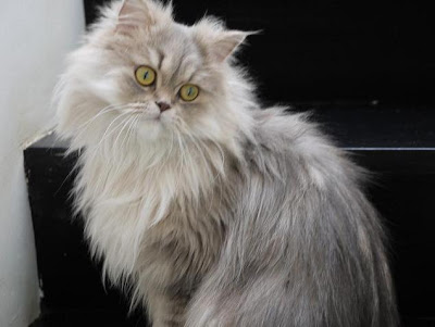 foto kucing persia abu abu