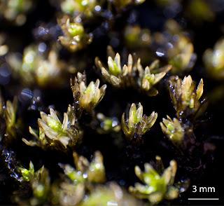 foto del musgo Codriophorus aciculare de la familia Grimmiaceae en granitos húmedos