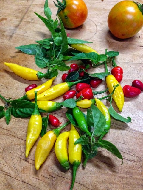 Lemon Peppers and Jalapequeños from the Summer garden