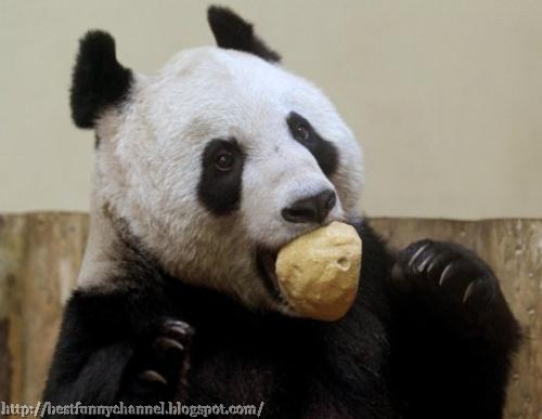 Panda eats.