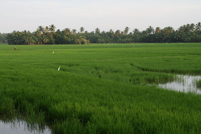 Kharif Crops Paddy Fields