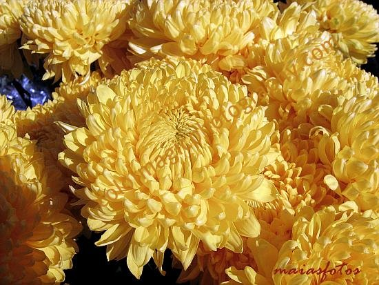 Golden-yellow Chrysanthemums-closeup