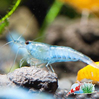 Neocaridina heteropoda de la variedad blue jelly