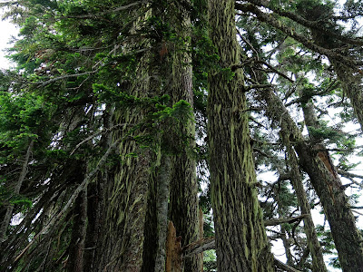 Johnson Ridge Trees (at the ridge)