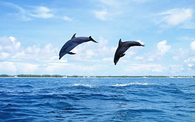 Imágenes de Parejas de Delfines - Fotos de Delfines