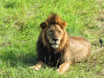 Male lions awakens in Ngorongoro Crater (Tanzania)