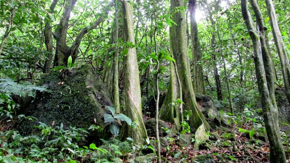 Sentier forestier à Moorea