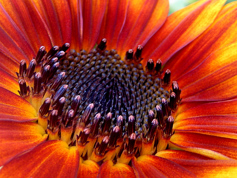 gorgeous colors of and yellow sunflower beyond wandering