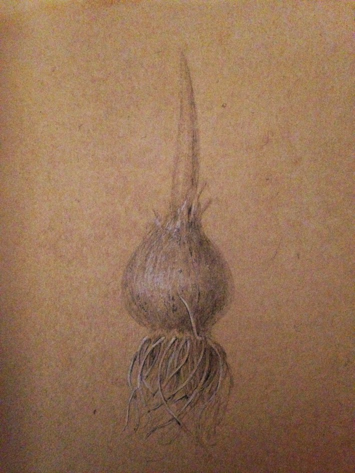 Silverpoint drawing with body colour of a tulip bulb