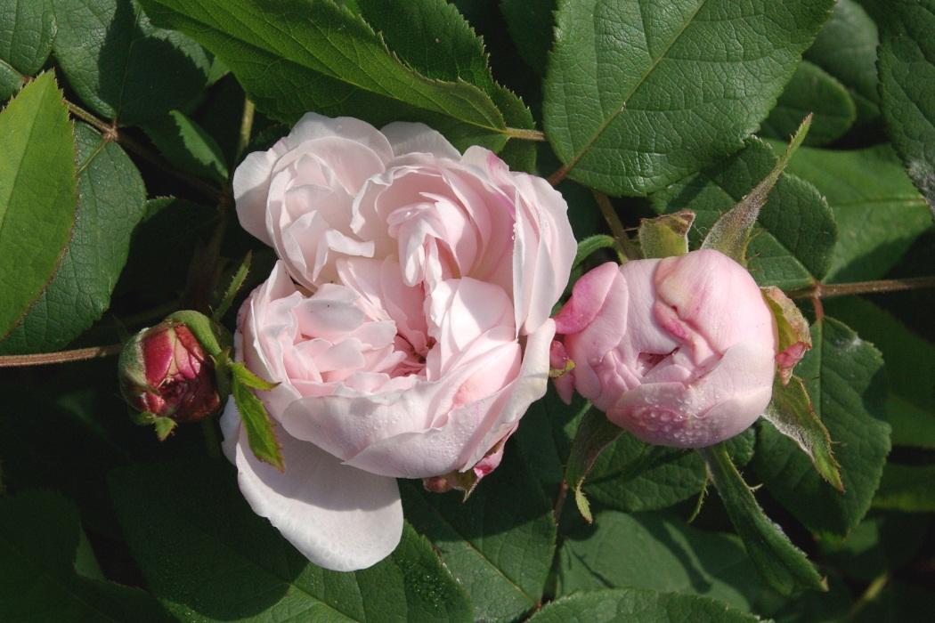 rudolfs park historischer rosen es remontiert portlands. Black Bedroom Furniture Sets. Home Design Ideas