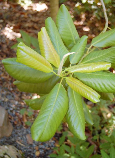 Magnolia Guatemalensis Leaf