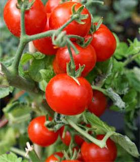 Cara meningkatkan hasil panen budidaya tomat dengan pupuk organik nasa