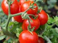 Teknis Budidaya Tomat dengan Pupuk Organik Nasa