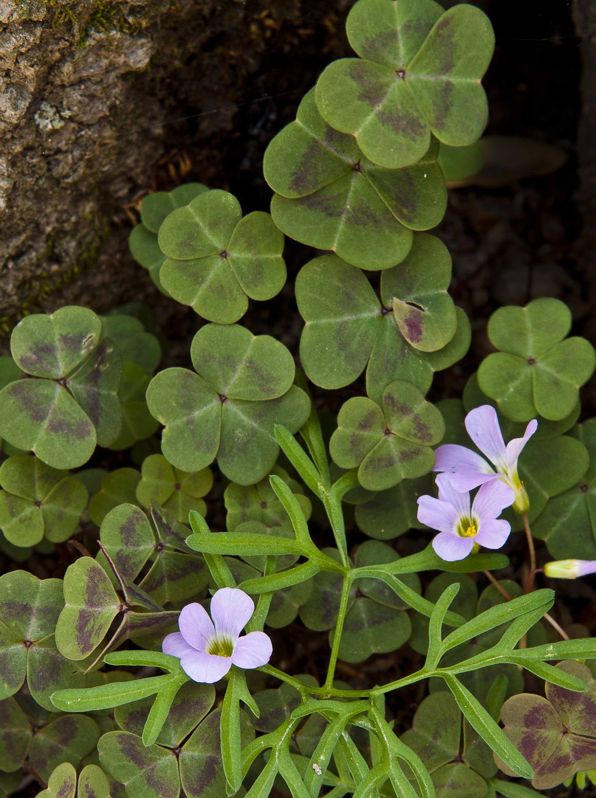 Kentucky Native Plant And Wildlife Plant Of The Week