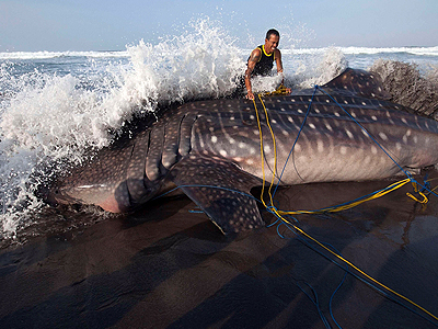 stranded whale shark dies on Indonesia beach