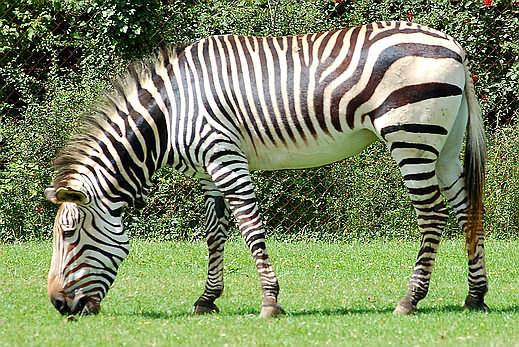 foto zebra