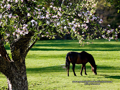 Shridan's pasture,Jaffrey New Hampshire, spring, apple blosoms