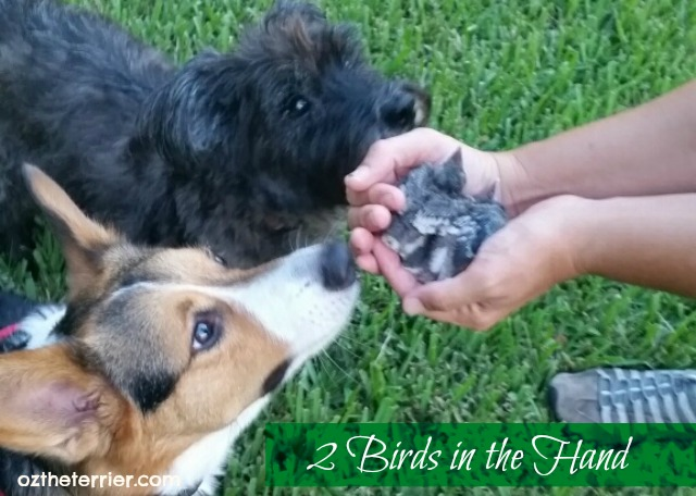 Oz the Terrier and his friend Bentley the Corgi help save two baby birds