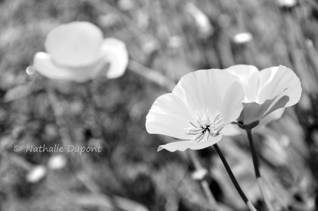 Au fil de la photo habill s de blanc - Fleur au coeur noir ...