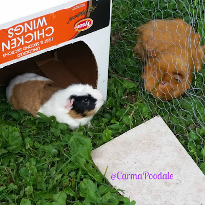 2 guinea pigs outside in the grass