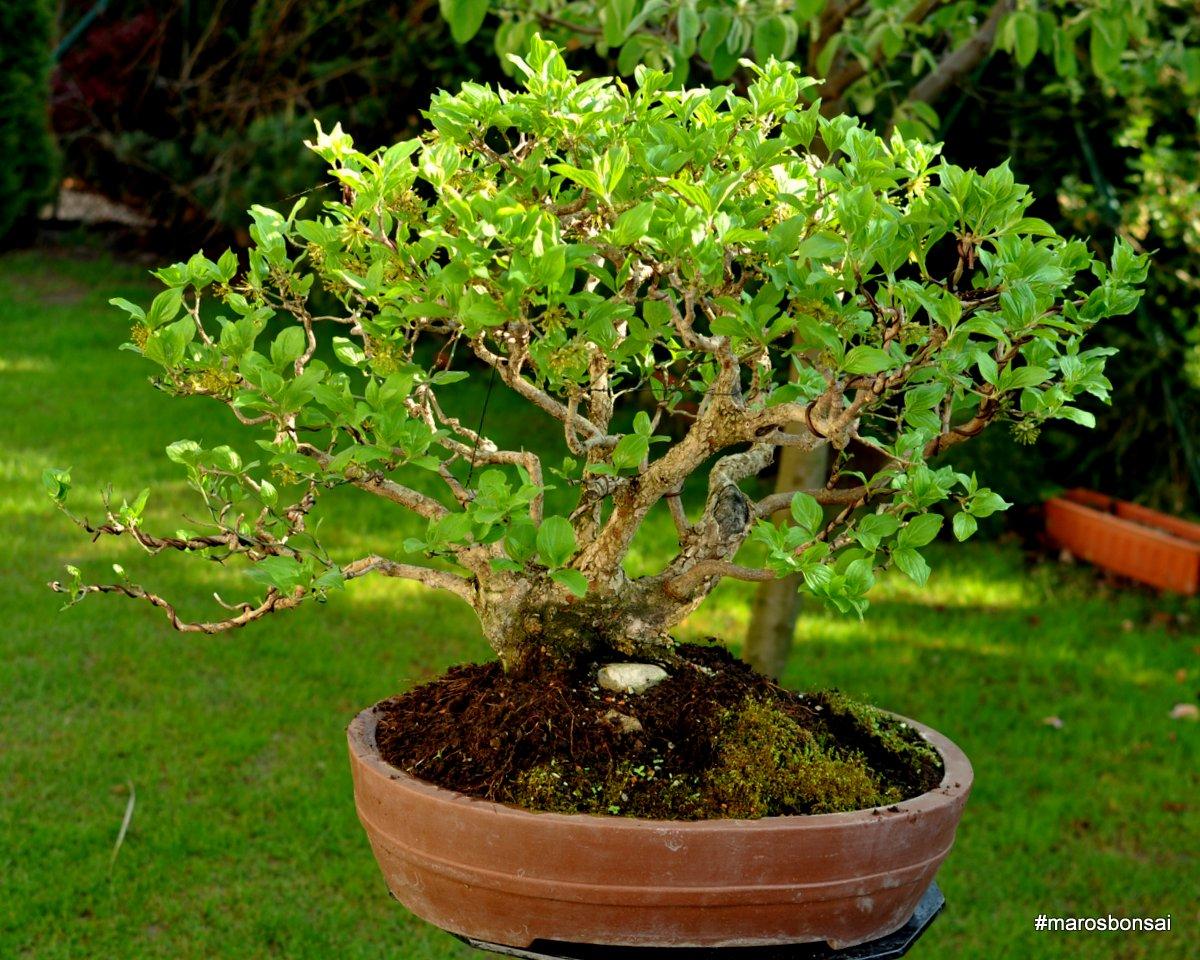 Maros Bonsai Blog Cornus Mas No1 QuotVesnaquot Moss Variations