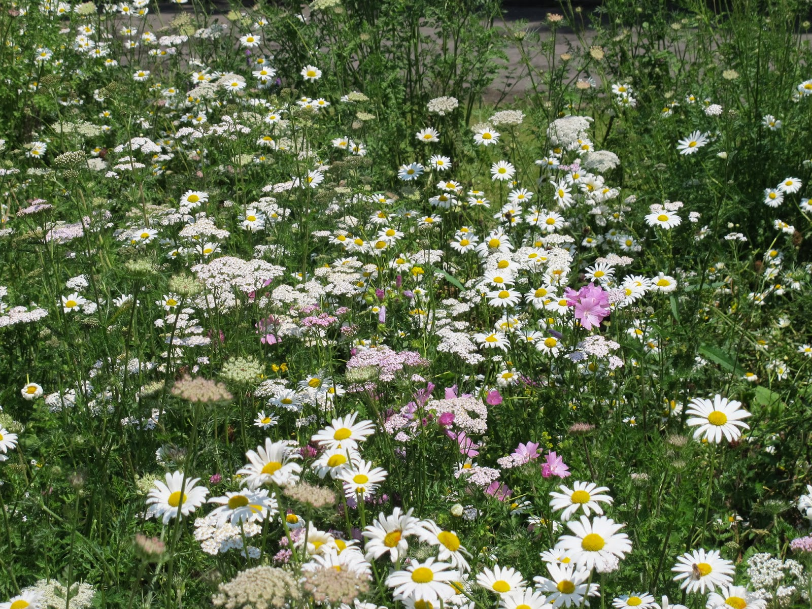 Urban Pollinators Crowpeckle And Grannys Toenails Our Perennial