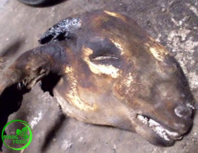 Cara membersihkan bulu kepala kambing sebelum diolah