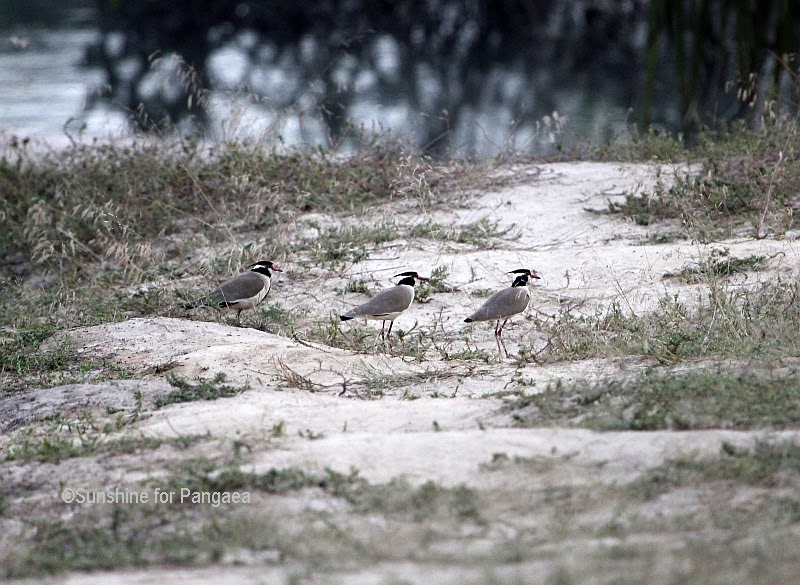 Black-headed Plover in Gambia