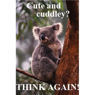 Koala essay
