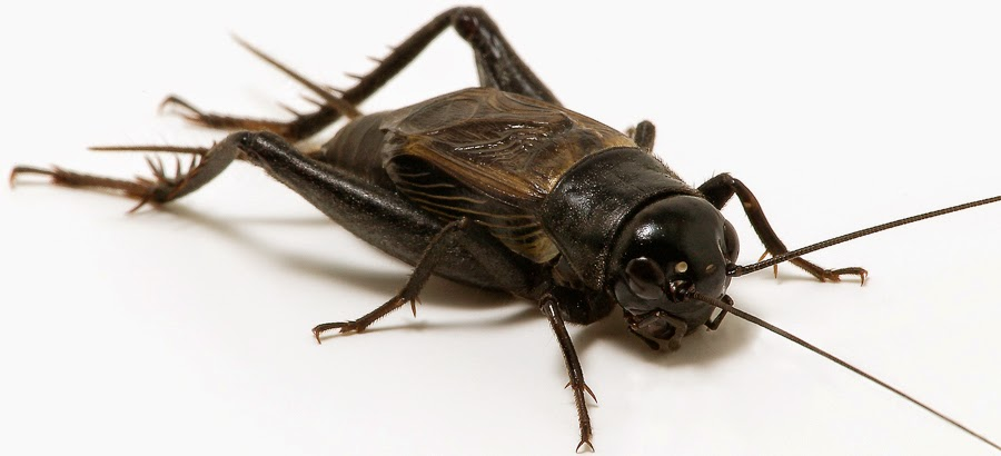 how to stop crickets chirping at night