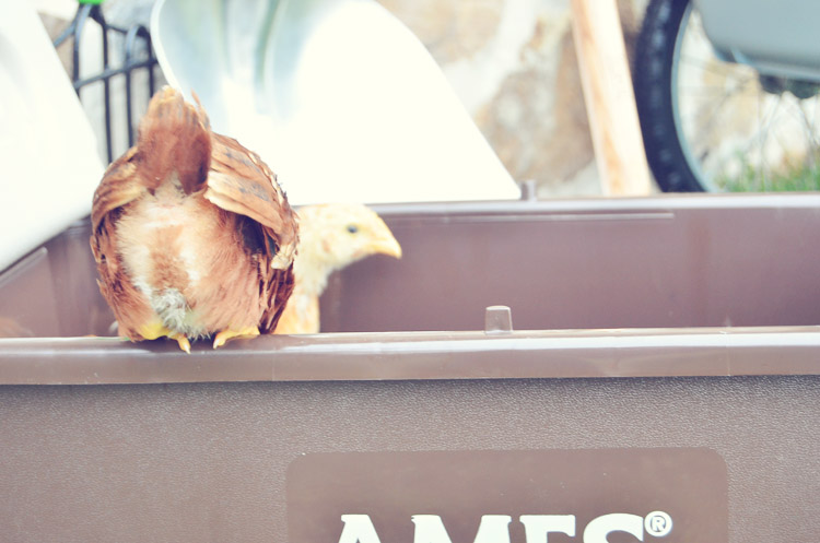 How to Care for Chickens Basics from Amy Renea at A Nest for All Seasons with AMES Tools