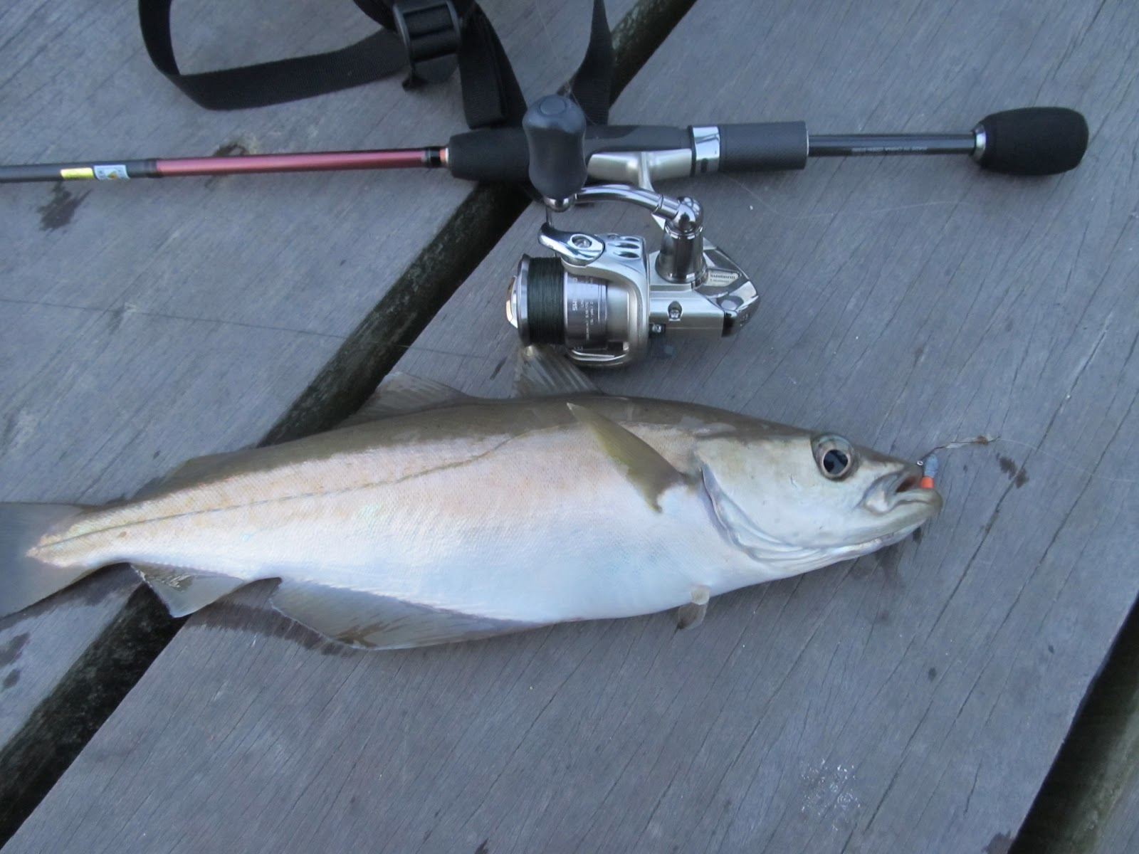 saltwater lure and fly fishing diary lrf pier session