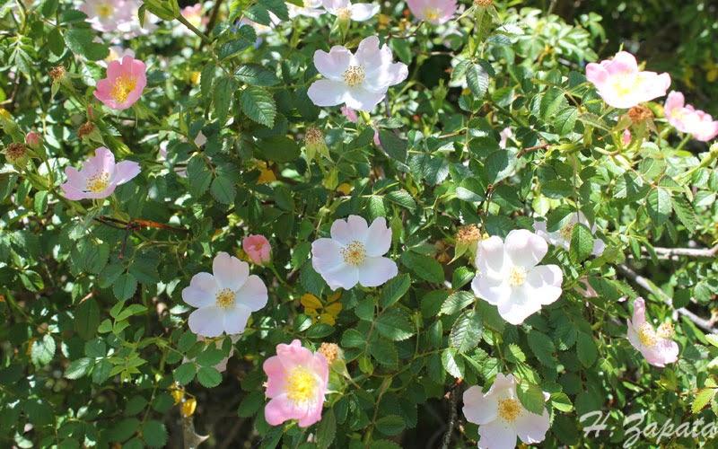 Aut ctonas en el jard n los rosales silvestres for Jardin los rosales
