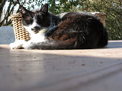 senior tuxedo cat outside in the sunshine