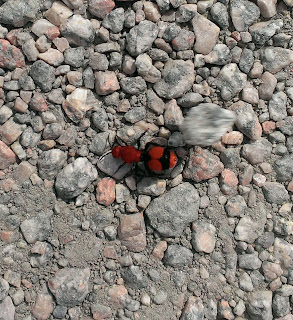 cow killer or velvet ant femal