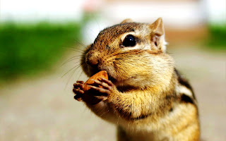 Chipmunk Eating Nut HD Wallpaper