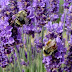 Lavender of Bulgaria part two